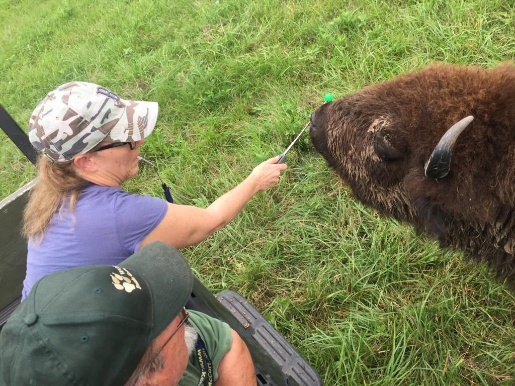 Wolf Park Bison Targeting